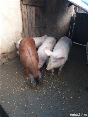 Vand porci - imagine 3