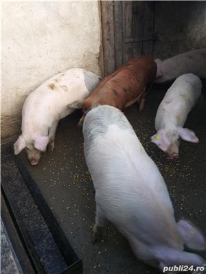 Vand porci - imagine 2