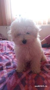 Pui bichon frise  - imagine 3