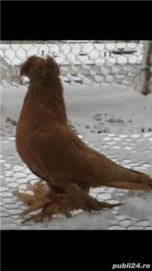 Porumbei de vanzare  - imagine 4