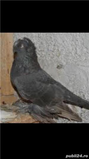 Porumbei de vanzare  - imagine 5