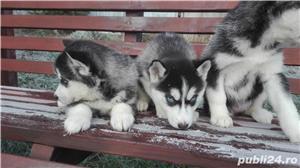Husky siberian - imagine 4