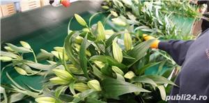 Angajam personal sera de flori sau fructe in Olanda - imagine 3