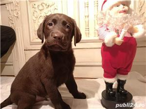 Labrador ciocolatiu - imagine 5