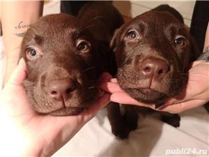 Labrador ciocolatiu - imagine 1
