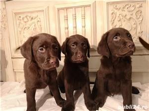 Labrador ciocolatiu - imagine 4