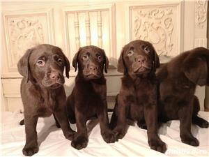 Labrador ciocolatiu - imagine 2