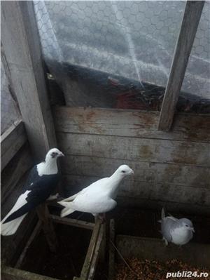 Porumbei de vanzare - imagine 1