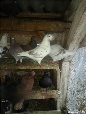 Porumbei de vanzare - imagine 3