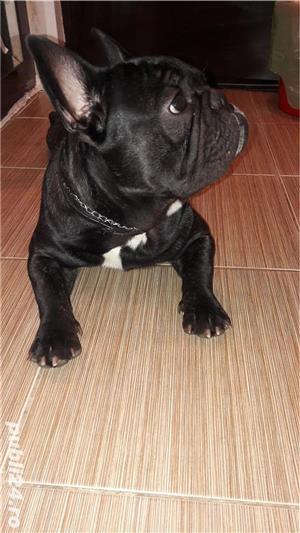 Bulldog Francez tanar - imagine 2