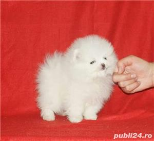 Pomeranian Alb Toy. Deosebit de frumosi. Rasa 100 % pura - imagine 1