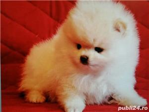 Pomeranian Alb Toy. Deosebit de frumosi. Rasa 100 % pura - imagine 2