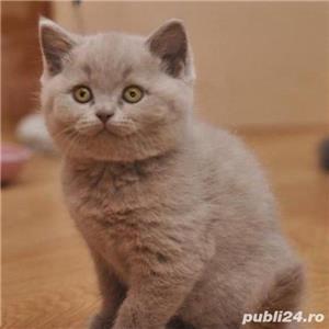 Vand pisici british shorthair bucuresti iasi constanta brasov  OFERTA!! - imagine 1