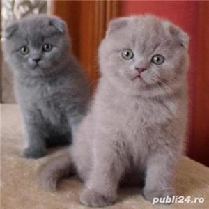 Vand pisici scottish fold bucuresti iasi constanta brasov craiova - imagine 2