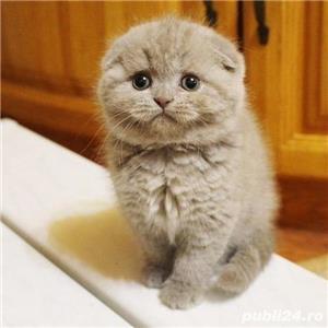 Vand pisici scottish fold bucuresti iasi constanta brasov craiova - imagine 1