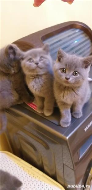 British shorthair blue  - imagine 2