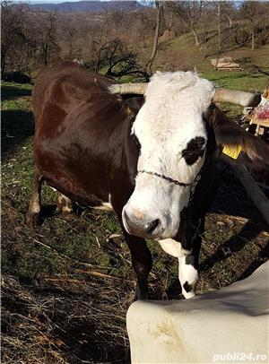 vand vaca - imagine 2