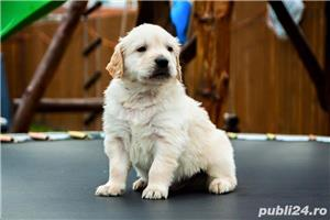 Femele si masculi golden retriever!! - imagine 1