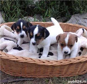 Vand jack russell/russel terrier!! - imagine 1