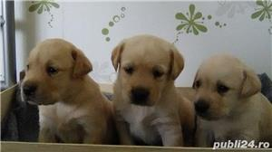Vand labrador retriever!! - imagine 2