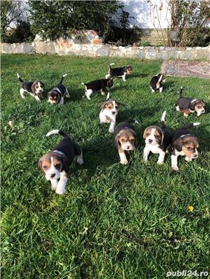 Puiuți Beagle  - imagine 4