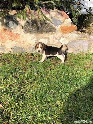 Puiuți Beagle  - imagine 2