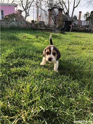 Puiuți Beagle  - imagine 3