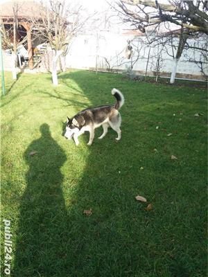 Monta husky - imagine 3