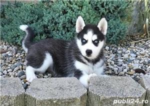 Pui de husky - imagine 1