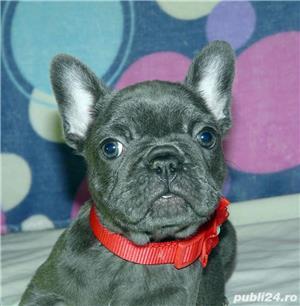 Pui de bulldog-buldog francez pe albastru,gri,blue  - imagine 4