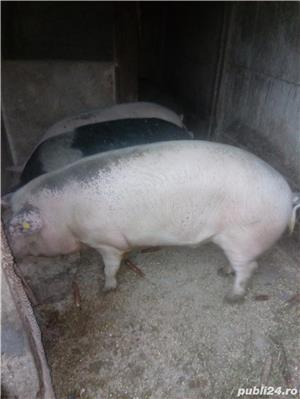 Porci de vanzare - imagine 1