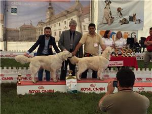 Mascul de exceptie, pt monta, Golden retriever cu pedigree A - imagine 4