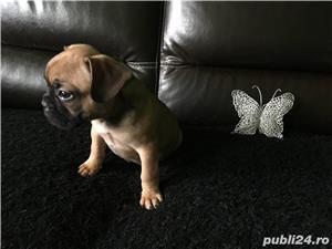 Pui Bulldog Francez - imagine 2