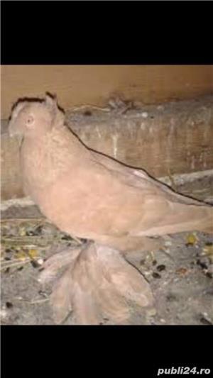 Porumbei jucatori de vânzare  - imagine 4