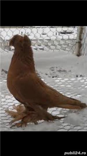 Porumbei jucatori de vânzare  - imagine 2