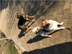 Catel Jack Russel Terrier pentru monta - imagine 2