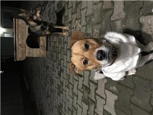 Catel Jack Russel Terrier pentru monta - imagine 1
