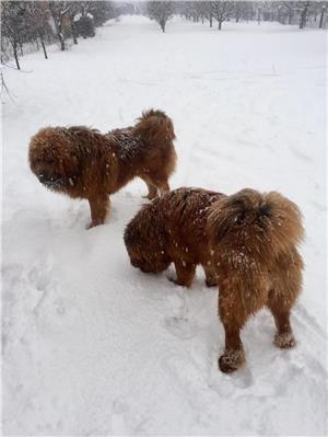 Vand pui Mastiff Tibetan  - imagine 2