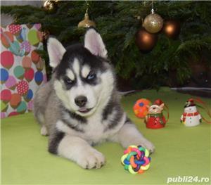 Cățeluși Husky pedigree A - imagine 3