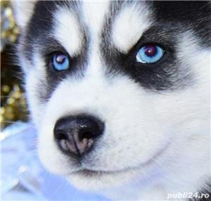 Cățeluși Husky pedigree A - imagine 6