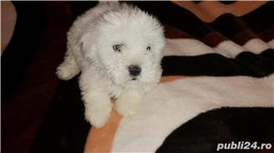 Bichon frise - imagine 3