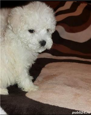 Bichon frise - imagine 1