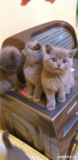British shorthair blue  - imagine 5