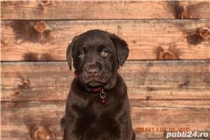Pui labrador ciocolatiu cu pedigree - imagine 2