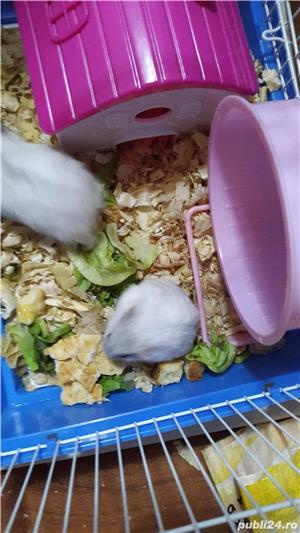 Hamsteri pitici - imagine 1