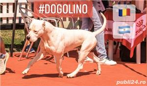 Dog Argentinian / Dogo Argentino - imagine 4