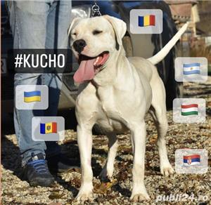 Dog Argentinian / Dogo Argentino - imagine 3