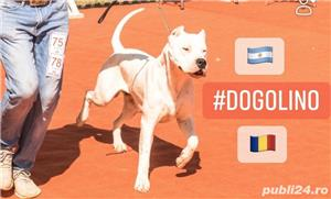 Dog Argentinian / Dogo Argentino - imagine 1