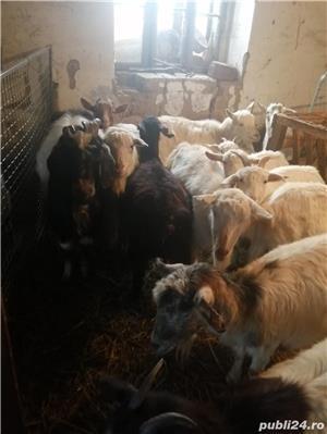 Vand 20 de capre  - imagine 5