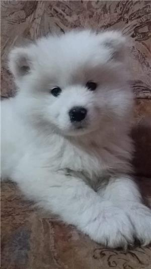 Vand samoyed,1 fetita disponibila. - imagine 1